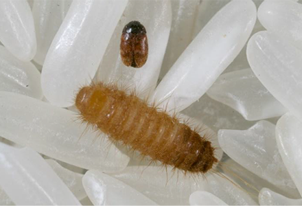 Sea container measures to protect against the Khapra Beetle – An update!
