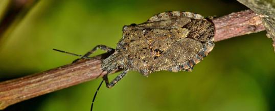 Brown Marmorated Stink Bug (BMSB) Seasonal Measures 2021-22